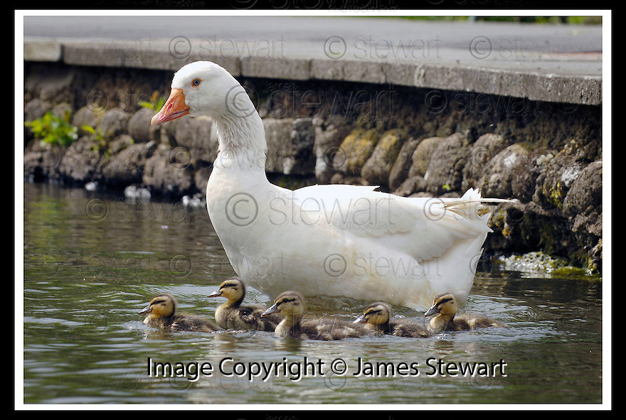 23/05/2006         Copyright Pic: James Stewart.File Name : sct_jspa05_goose. A GOOSE AT THE GUNKNOWE LOCH, TWEEDBANK NEAR GALASHIELS, WITH HIS FAMILY OF ADOPTED DUCKS ....Payments to :.James Stewart Photo Agency 19 Carronlea Drive, Falkirk. FK2 8DN      Vat Reg No. 607 6932 25.Office     : +44 (0)1324 570906     .Mobile   : +44 (0)7721 416997.Fax         : +44 (0)1324 570906.E-mail  :  jim@jspa.co.uk.If you require further information then contact Jim Stewart on any of the numbers above.........