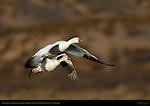 Snow Goose and Juvenile in Flight, Bosque del Apache Wildlife Refuge, New Mexico