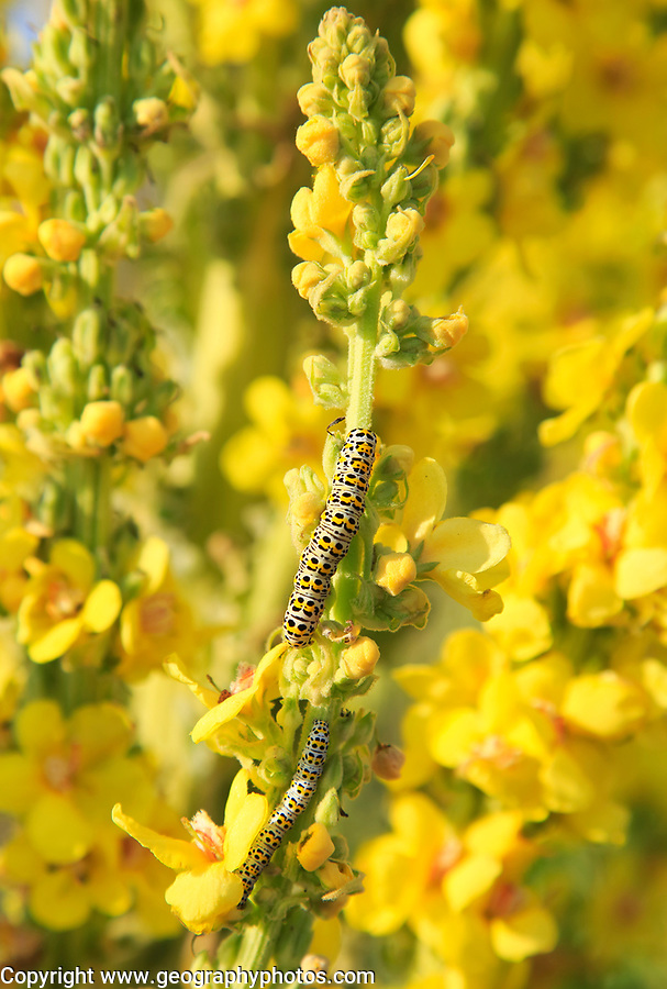 Mullein moth caterpillar on great mullein plant, Verbascum thapsus, Shingle Street, Suffolk, England, UK