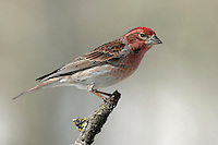 Cassin's Finch - Carpodacus cassinii - Adult male
