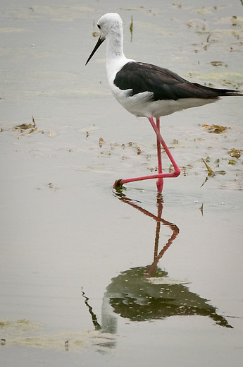 The Black-winged Stilt is a social species, and is usually found in small groups. Black-winged Stilts prefer freshwater and saltwater marshes, mudflats, and  shallow edges of lakes and rivers. Black-winged Stilts feed mainly on aquatic insects. They rarely swim for food, preferring instead to wade in shallow water, and seize prey on or near the surface.
