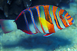 Harlequin Tuskfish - Choerodon Fasciatus<br />