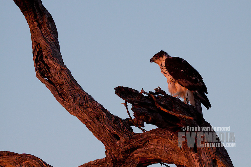 Crowned Hawk-eagle (Stephanoaetus Coronatus)..June 2009, winter..Balule Private Nature Reserve, York section..Greater Kruger National Park, Limpopo, South Africa.