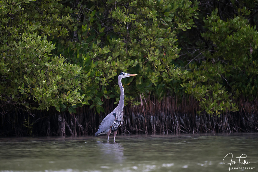 A Great Blue Heron, Ardea herodias, in breeding plumage in the Ria Lagartos Biosphere Reserve, a UNESCO World Biososphere Reserve in Yucatan, Mexico.