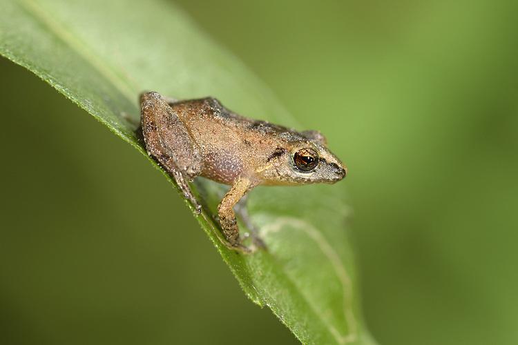 Lesser Antillean Whistling Frog - Eleutherodactylus johnstonei