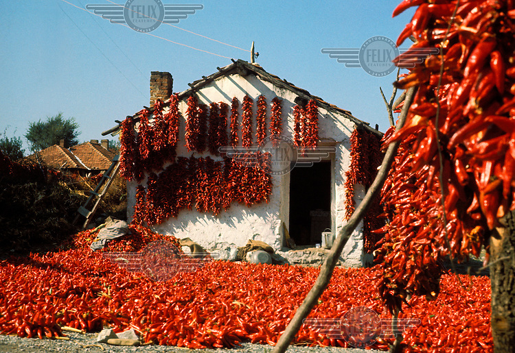 Chillies drying in sun.