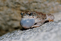 Red-spotted Toad, Bufo punctatus; Sonoran Desert, Arizona