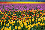 Skagit County, WA: Rows of colorful tulips blooming in spring.