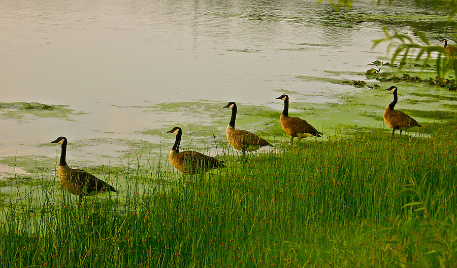Canadian Geese, Lily Lake, Cape May Point, New Jersey