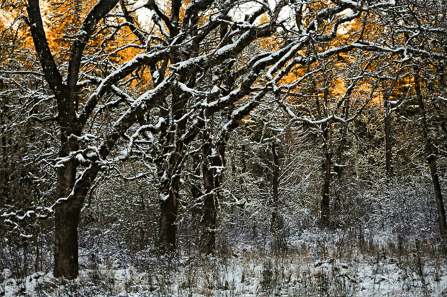 The sun sets in the background behind a row of oak trees covered in a light snow.  Scatter Creek Wildlife Area, Rochester, Washington State, USA.