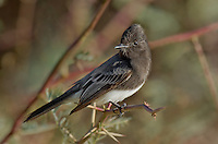 571000003 a wild black phoebe sayornis nigricans perches on a small tree branch in the northern mojave desert california