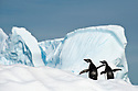 Adelie Penguins (Pygoscelis adeliae) on ice berg. Yalour Islands, Antarctic Peninsula, Antarctica.