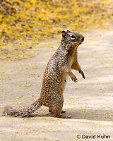 0613-1106  Rock Squirrel (Ground Squirrel), Pregnant Female, Spermophilus variegatus (Otospermophilus variegatus)  © David Kuhn/Dwight Kuhn Photography