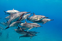 Hawaiian spinner dolphin, Stenella longirostris longirostris, socializing pod, Kona Coast, Big Island, Hawaii, USA, Pacific Ocean