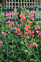 Lathyrus odoratus Sweet pea 'Prince of Orange'