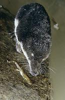 Wasserspitzmaus, Wasser-Spitzmaus, mit erbeutetem Molch, Spitzmaus, Neomys fodiens, Water shrew, Musaraigne aquatique, Crossope