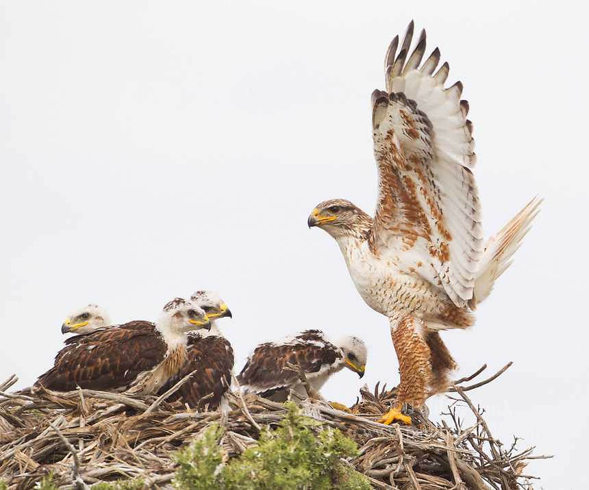 A female Ferruginous Hawk arrives at at the nest with food for waiting young.