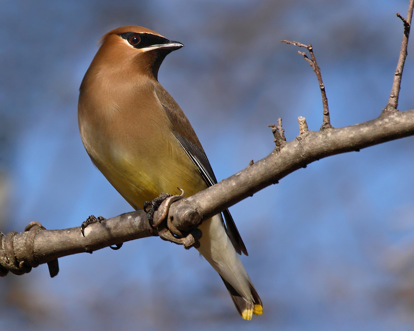 The Cedar Waxwing is a silky, shiny collection of brown, gray, and lemon-yellow, accented with a subdued crest, rakish black mask, and brilliant-red wax droplets on the wing feathers.<br /> Nature's Garden Magazine.