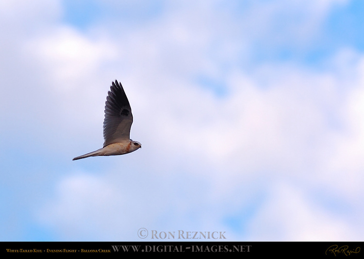 White-Tailed Kite, Evening Flight, Ballona Creek, Southern California