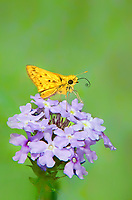 389390001 a wild adult fiery skipper hylephila phyleus feeds on a dakota vervain wildflower glandularia bipinnatifida in southeast regional park austin travis county texas