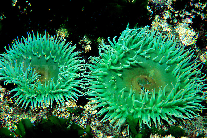 Giant green anemone, Anthopleura xanthogrammica, California, Eastern Pacific Ocean