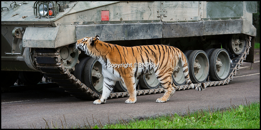 BNPS.co.uk (01202 558833)<br /> Pic: PhilYeomans/BNPS<br /> <br /> Bengal Tiger's also took an interest...<br /> <br /> Longleat's infamous troop of mischievous monkeys, along with the parks other wiley inhabitants, have been wreaking havoc on unsuspecting motorists for decades.<br /> <br /> But even they were a little overwhelmed when they came face to face with the might of the British Army this week.<br /> <br /> Soldiers from the 1st Battalion The Yorkshire Regiment, based in nearby Warminster, took one of their Warrior armoured vehicles through some of the Wiltshire safari park's most notorious enclosures.<br /> <br /> And despite the animals obvious interest the 27.5 tonne, six-metre-long caterpillar tracked vehicle eventually emerged without a scratch.<br /> <br /> The Army were visiting the park ahead of a new military spectacular event which is taking place on the estate later this month.