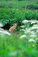 A red fox on top of its den  in Alaska's McNeil River State Game Sanctuary.
