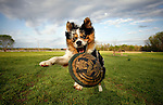 Smoke, an Australian Shepherd, catches a frisbee at Murphy Park in Little Rock, Arkansas.