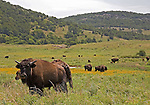 American bison in the Wichita Mountains in Oklahoma