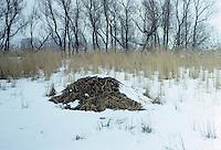 Bisam, Bisamratte, Bisam-Ratte, Burg aus Pflanzenmaterial im Röhricht, Ondatra zibethicus, Ondatra zibethica, muskrat