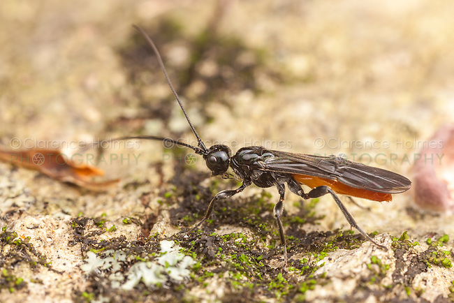 A male Braconid Wasp (Atanycolus sp) explores the surface of a fallen dead tree.