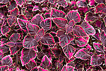 TRAILING PLUM COLEUS, STAINED GLASSWORKS SERIES COLEUS HYBRID