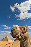 Camel in front of the pyramids of Giza, Egypt, Cheops, Khafre  or Chephren, and Menkaure or Mycerinus.