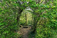 France, Sarthe (72),  Poncé-sur-le-Loir, jardin du château de Poncé en avril,  labyrinthe de charmille datant de la Renaissance
