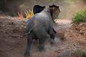 Namibia;  Namib Desert, Skeleton Coast, Huab River, desert elephant (Loxodonta africana) climbing up steep river bank