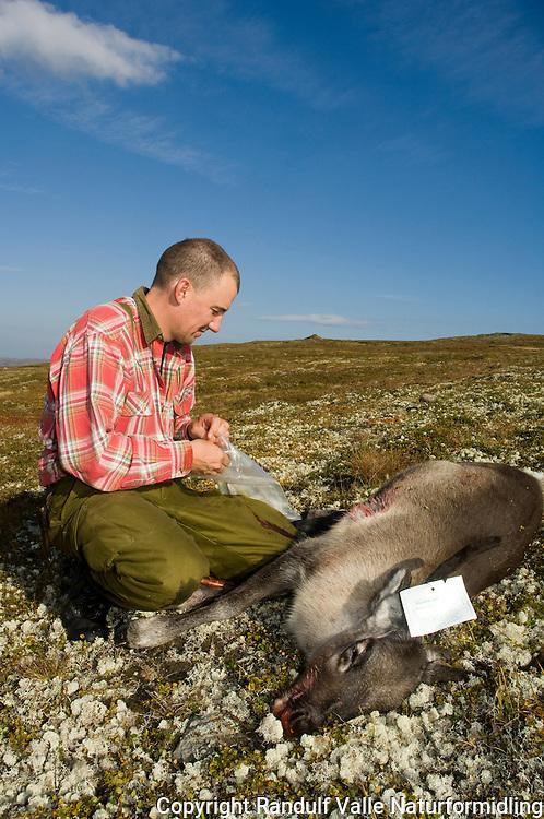 Jeger med kalv, med jaktkort festet til geviret ---- Hunter and reindeer