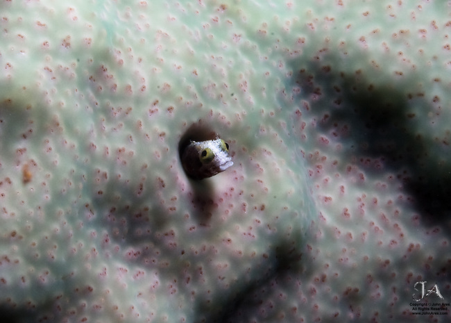 Spinyhead blenny peeking out of hole in coral