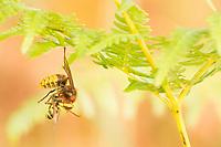 Hornet worker (Vespa crabro) predating solitary wasp. Surrey, UK.