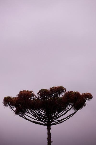 Curitiba_PR, Brasil...Detalhe de uma araucaria, arvore simbolo da cidade de Curitiba, Parana...Detail of araucaria, a tree simbol in Curitiba, Parana...Foto: BRUNO MAGALHAES / NITRO