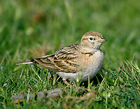 Short-toed Lark Calandrella brachydactyla L 15-16cm. Dumpy, sandy-brown lark with a stubby bill, pale underparts and dark patch on sides of breast. Feeds unobtrusively and often found near coasts. Winters in Africa and usually breeds in S Europe.