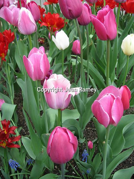Michigan Avenue Tulips, Chicago