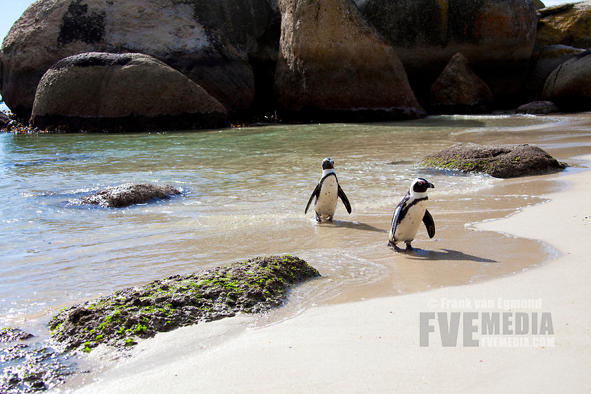 African Penguin on Boulders Beach, Cape Town, South Africa.
