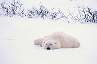 Large male Polar Bear sleeps in snow along Hudson Bay, Canada.  Fall.