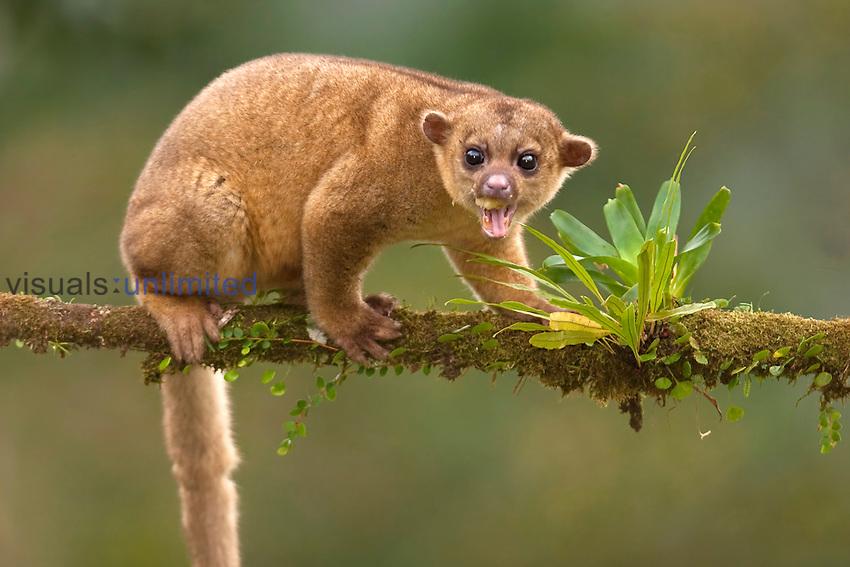 Kinkajou (Potos flavus), Costa Rica.