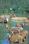 Pere David's Deer