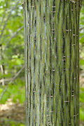 Striped Maple - (Acer pensylvanicum)  tree on the side of a hiking trail during the spring months in a New England forest USA.