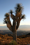Joshua tree near Keys View