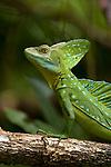Emerald Basilisk (Basiliscus plumifrons), Costa Rica.