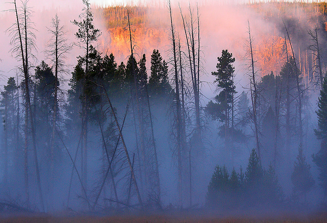 MORNING FOG ENVELOPES A STAND OF LODGEPOLE PINES ALONG THE FIREHOLE RIVER IN YELLOWSTONE NATIONAL PARK,WYOMING