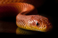 Everglades Rat Snake, Pantherophis Obsoleta.<br />